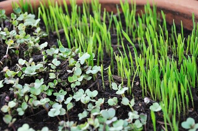 Microgreens selbst anbauen