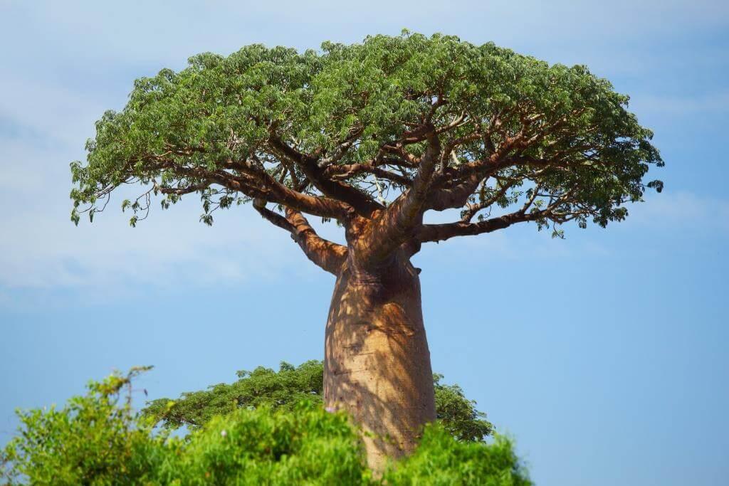 Baobab vom Affenbrotbaum