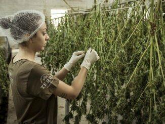 Legales Cannabis in den USA stark gefragt