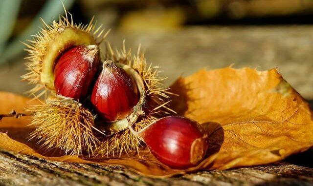 Esskastanien: Heimisches Superfood für den Herbst