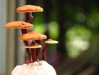 Der Reishi-Pilz als Superfood: Gut für unseren Körper