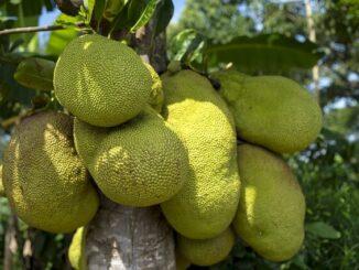 Jackfrucht: Wissenswertes zum Superfood