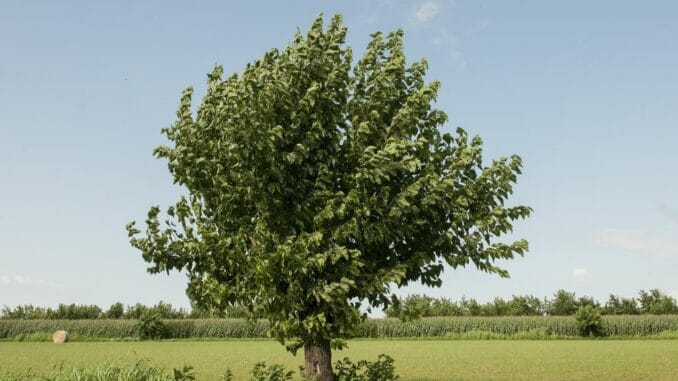 Der Maulbeerbaum 4