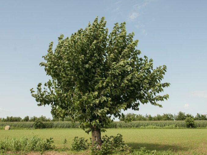 Der Maulbeerbaum 2