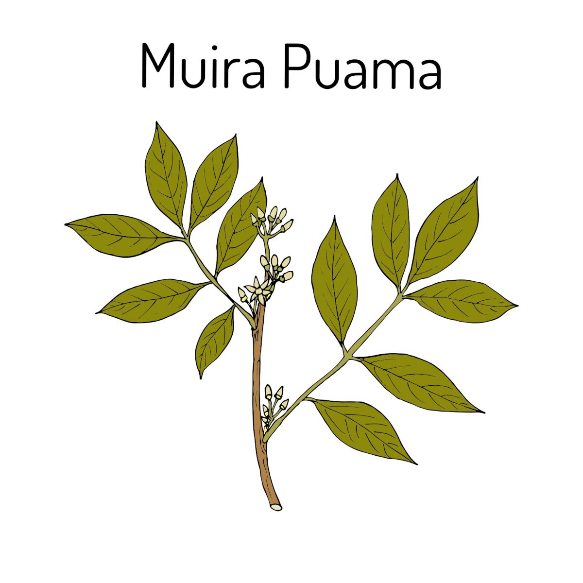Muira Puama Pflanze