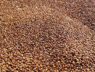 Quinoa in Europa anbauen: So könnte es funktionieren