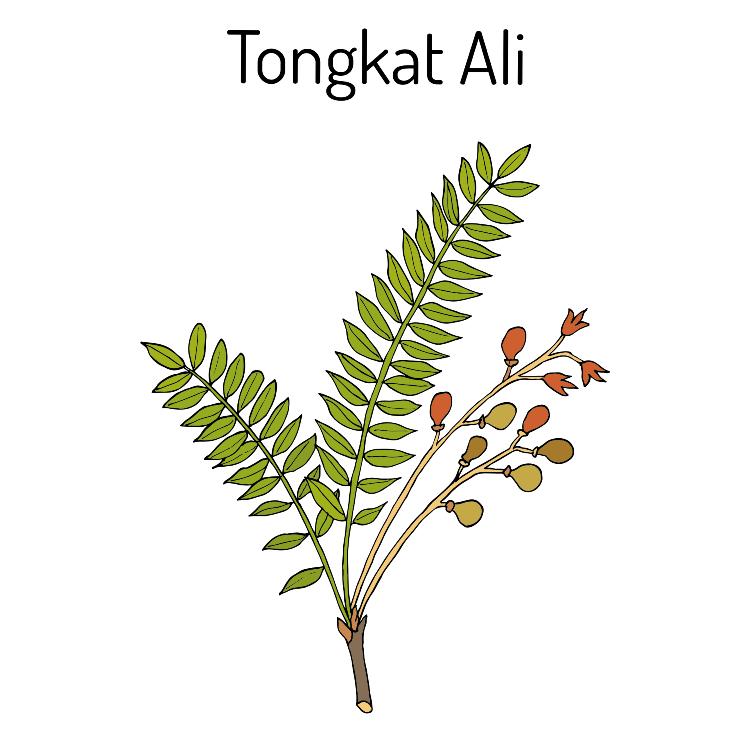 Tongkat Ali 1